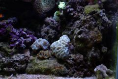 Petit groupe de caulastrea