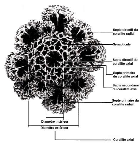 coralliteaxial.jpg