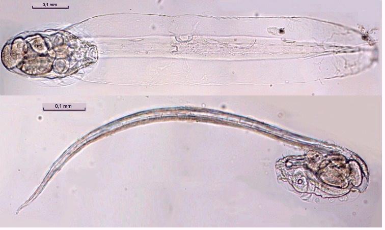hippocampe reidi