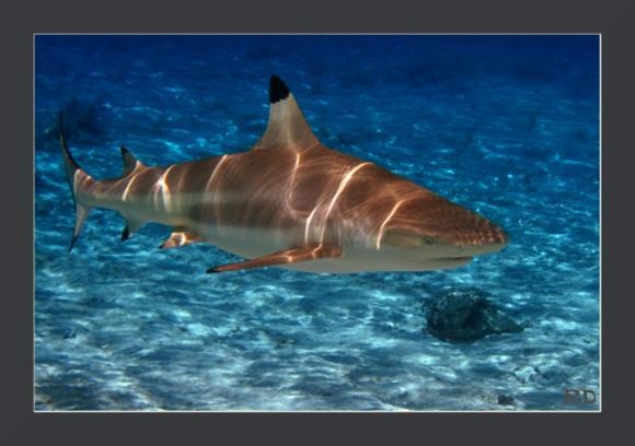 requin2.jpg