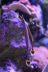 Doryrhampus excisus (couple)