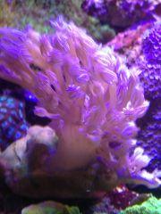 Vargas Purple Monster Cespitularia