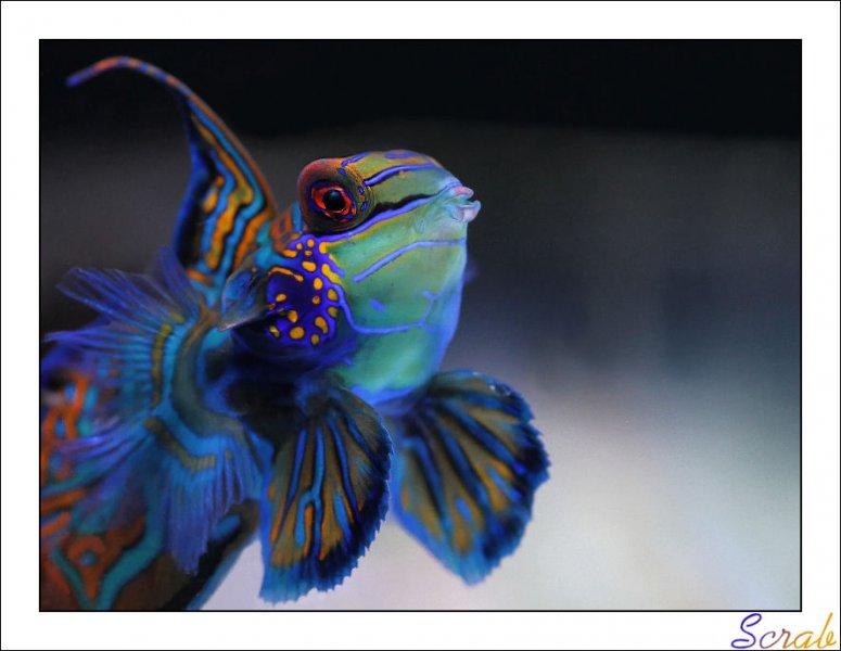 Synchiropus splendidus