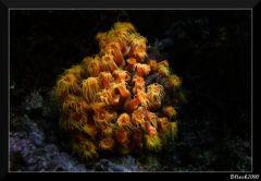Parazoanthus gracilis