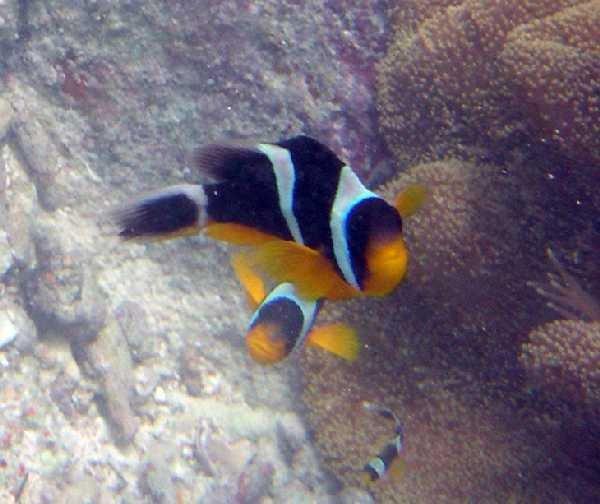 Amphiprion fuscocaudatus