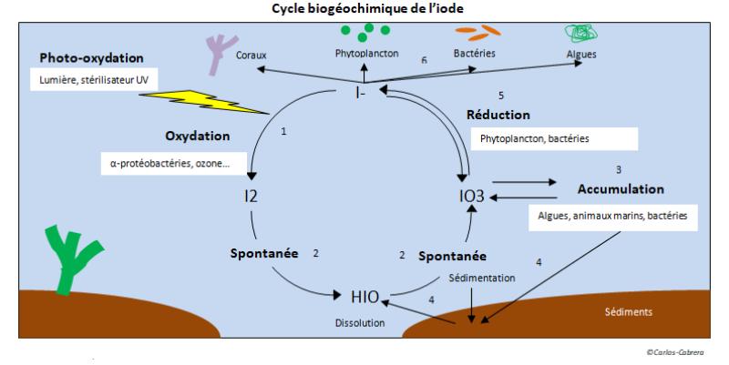 Cycle biogéochimique de l'iode dans nos aquariums récifaux